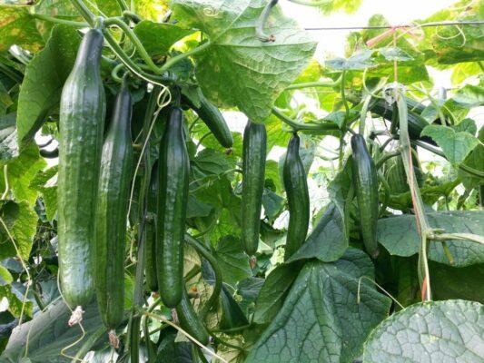 pepino cultivo organico