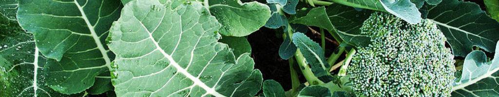 Sprouting_broccoli_DeCicco_variety