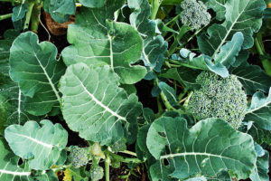 Sprouting_broccoli_DeCicco_variety