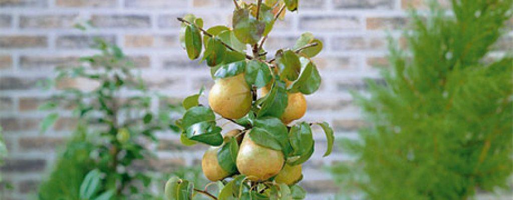 Dwarf pear tree 008