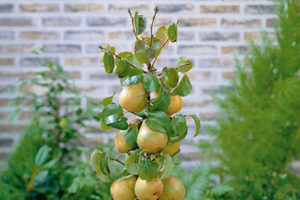 Dwarf pear tree 008
