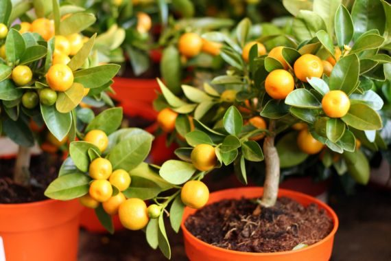 Naranjos en Maceta