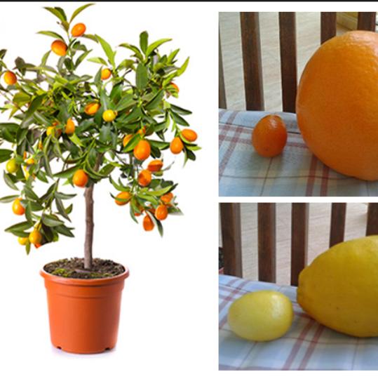 En el Naranjo y Limonero Enano los frutos pueden ser más pequeños. También encontramos variedades de frutales bonsai.