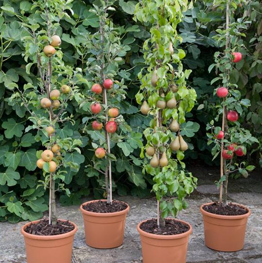 Peras y Manzanas en Maceta