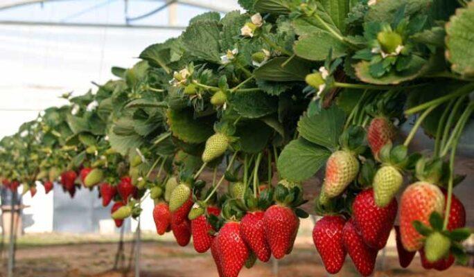 fresa frutilla cultivo1