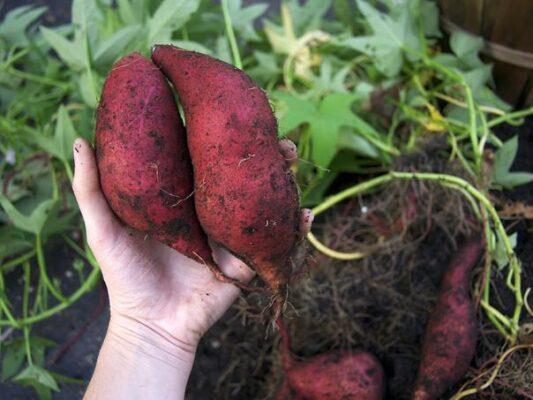 cultivo batata