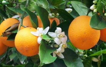 Flores de Naranjo Amargo