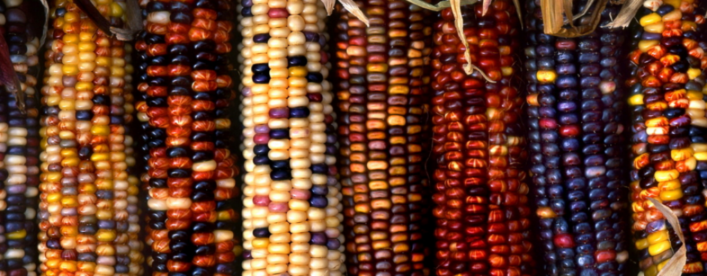 cultivo maiz organico