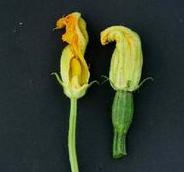 flores-zapallo-macho-hembra