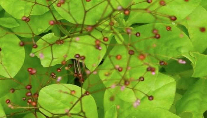 Es fácil que las flores y frutos del fosforito llamen la atención por su aspecto al costado de caminos, en baldíos, y también sobre escombros y mampostería. Como todo un símbolo de resistencia, es una planta que tolera el glifosato. Las hojas y los tallos tiernos se pueden usar cocidos en todo tipo de rellenos.