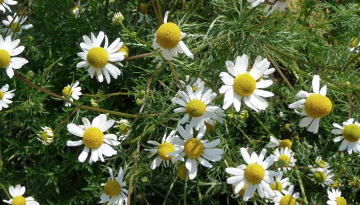 Otra planta clásica del botiquín de las abuelas, se la encuentra en forma silvestre en el campo y es fácil de reconocer por sus flores perfumadas. Las flores se usan para infusiones, frescas o secadas a la sombra, y para licores. En forma industrial se la destila para obtener aceite esencial.