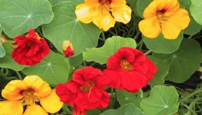También se la conoce como capuchina, es muy fácil de reconocer en canteros, jardines y huertas; incluso se la usa como ornamental. Las hojas y las flores se pueden usar en ensalada; por sus colores, las flores también se usan como guarnición o para decorar platos. Los capullos se pueden usar en vinagre como las alcaparras, y las semillas se pueden comer tostadas.