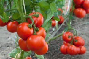 cultivar tomates en maceta